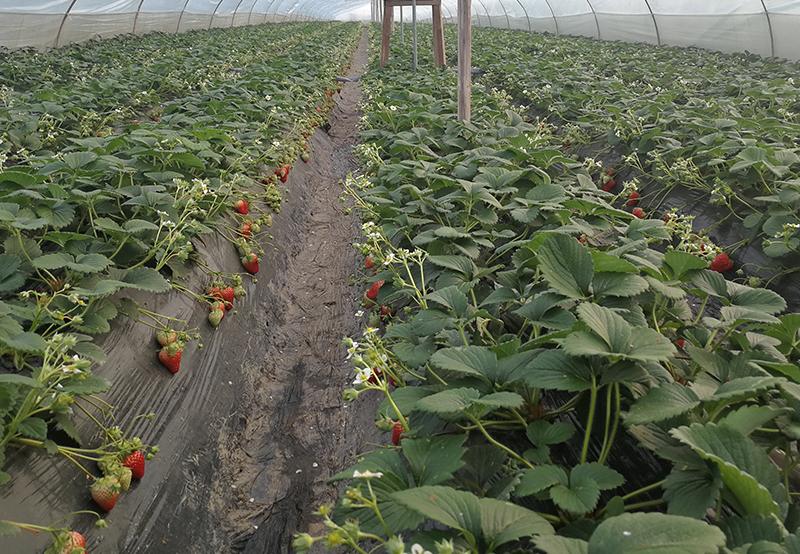 长安草莓种植基地
