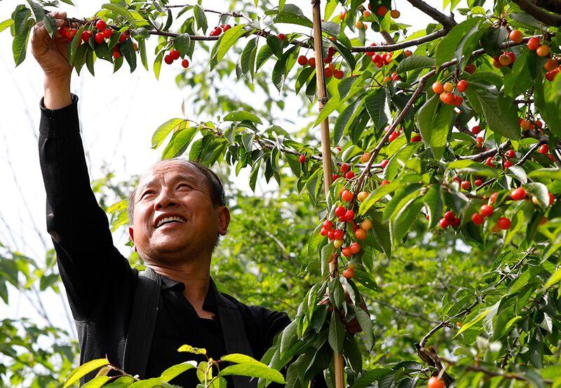 蓝田樱桃树