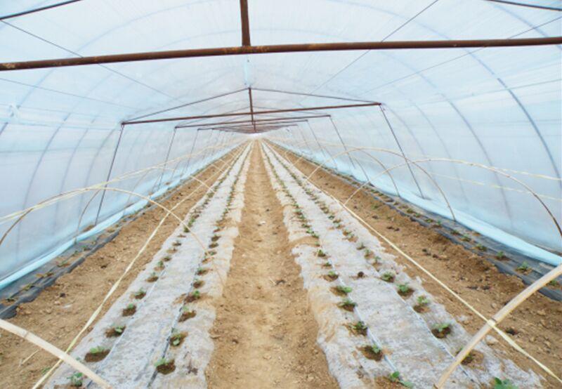 蒲城西瓜种植