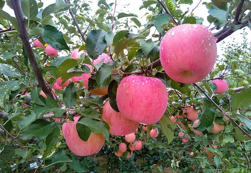 旬邑苹果树