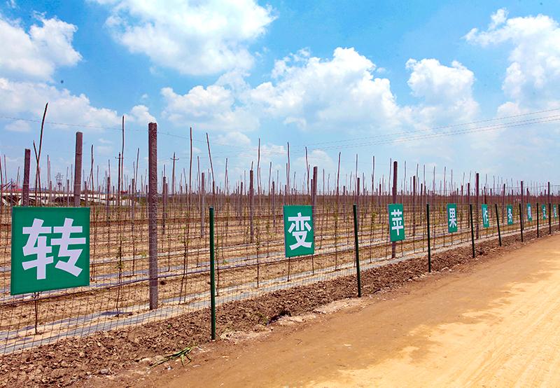 旬邑苹果种植基地