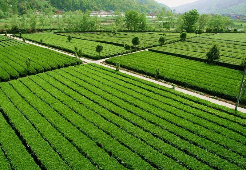平利女娲茶茶园